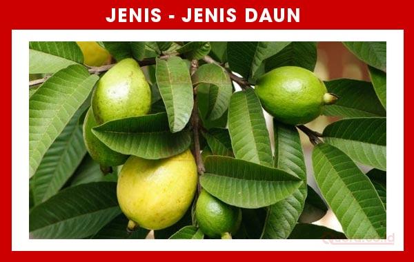 Pohon Jambu